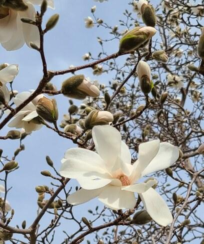 Magnolia Newmarket, ON