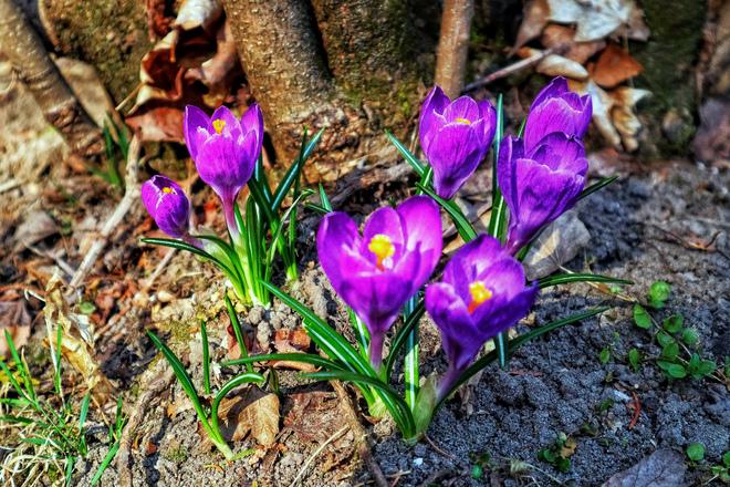 spring flowers Sainte-Marthe, QC