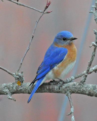 Eastern Bluebird Warkworth, Trent Hills, ON