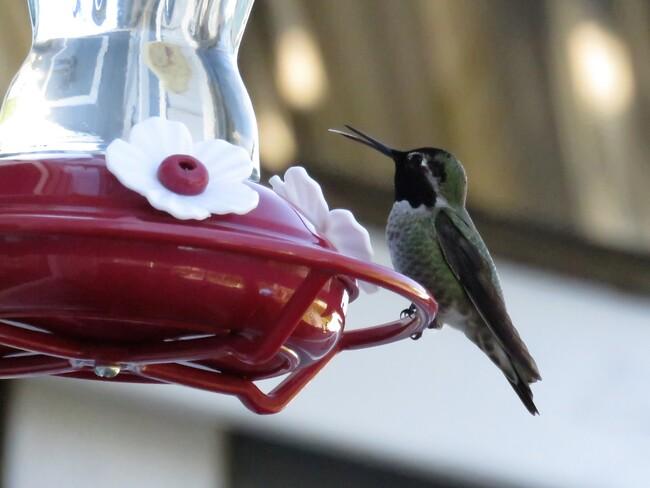 Male Anna's Hummingbird!!! Nanaimo