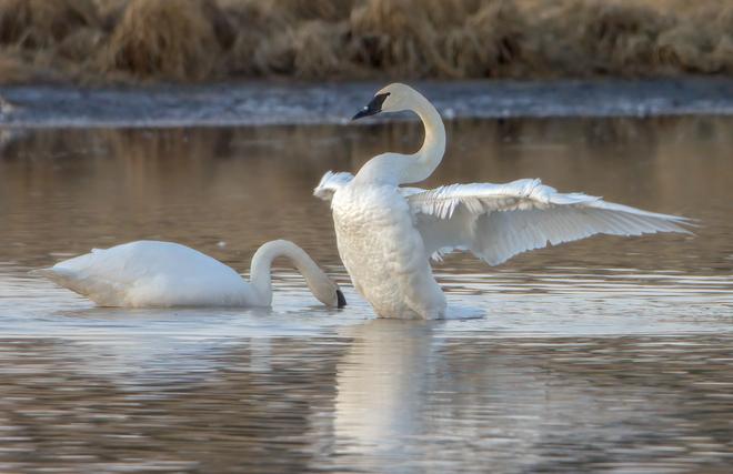 Trumpeter Swan Stretch Jumping Pound, Alberta