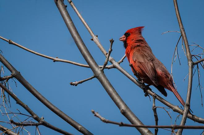 A Cardinal enjoys the view in the Little RiverCorridor. Windsor, Ontario