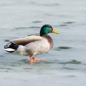 Canard colvert sur la glace