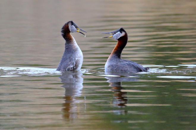 Red-necked grebe courtship Edmonton, AB