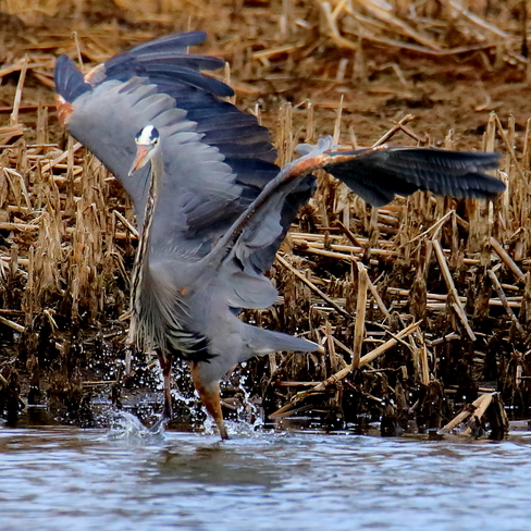 Great blue heron Edmonton, AB