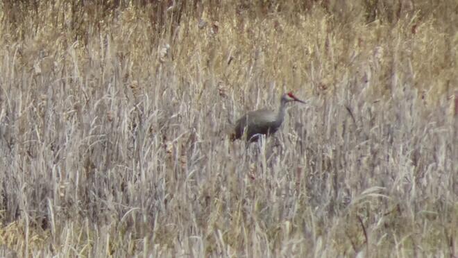 Crane Bird In The Swamp Sudbury, ON