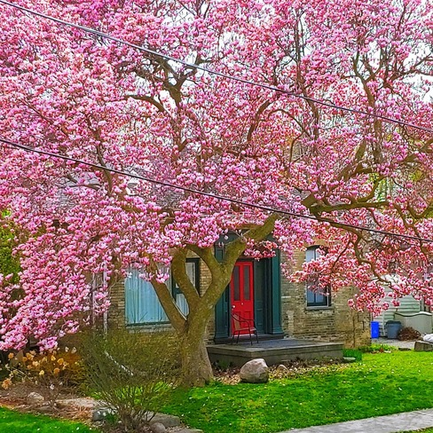 Magnificent Magnolia London, ON