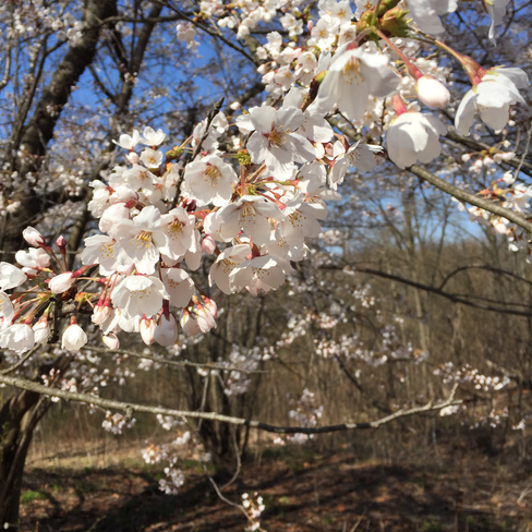 Cherry Blossoms Toronto, Ontario | M6P 4B4