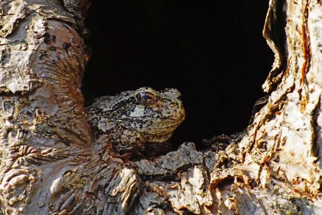 Gray tree frog in apple tree Metcalfe, ON