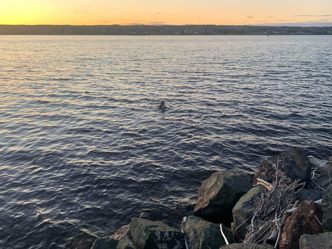 Chub chub the seal Miramichi, NB