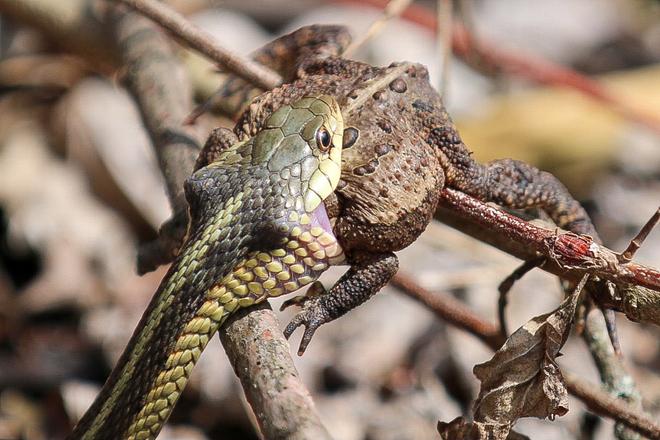 Garter snake and frog part 1 Amherstburg, Ontario, CA
