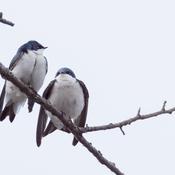 Hirondelles bicolores