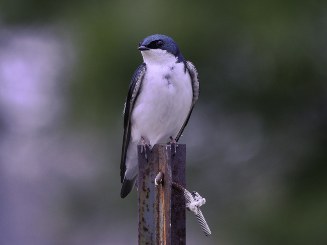 Tree Swallow Colonel Samuel Smith park, Toronto, ON