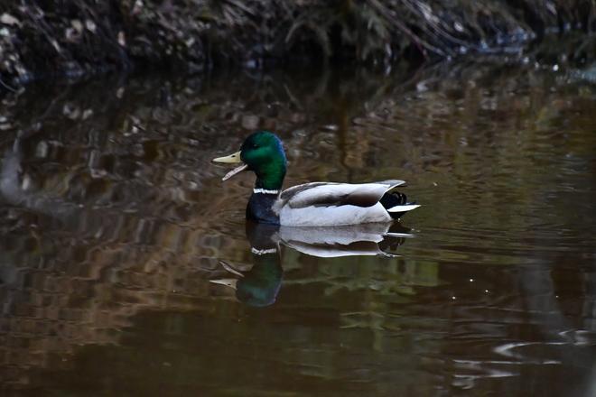 Quack Fort McMurray