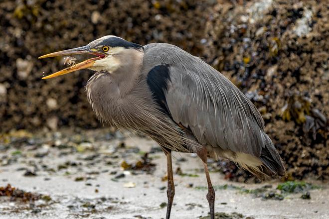 Blue Heron Eating a Crab Vancouver, BC
