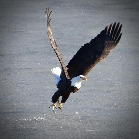 Eagle on the ice Fraser-Fort George, British Columbia   V2N 6H7