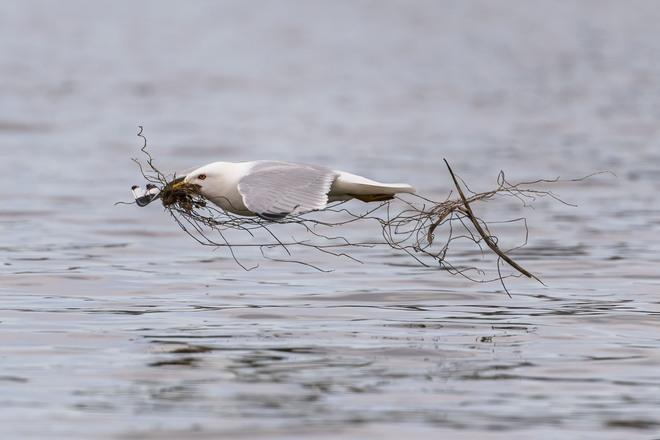 Ring-billed Gull (breeding plumage) - Burlington Ontario Burlington, ON