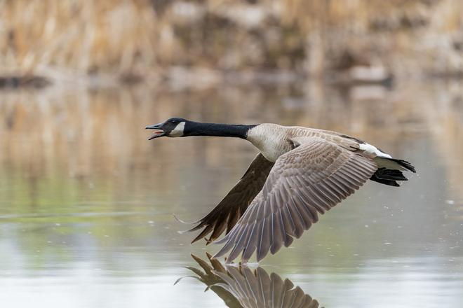 Canada Goose Oakville, ON