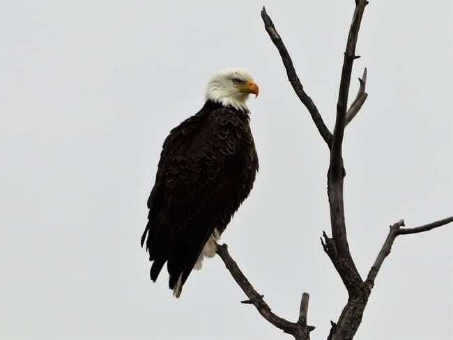 Bald Eagle Cobden, ON