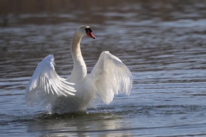 White Swan Amherstburg, Ontario, CA