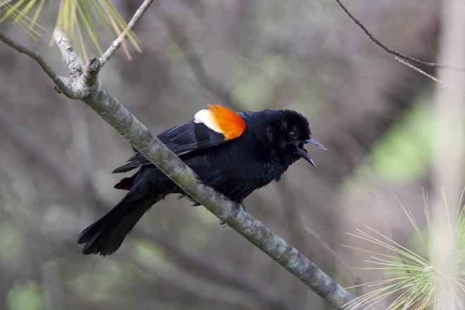 Red-winged Blackbird Calling Oshawa, ON