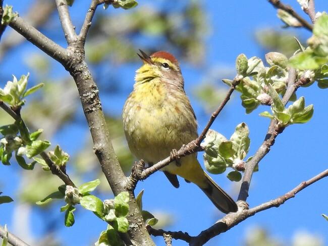 Palm Warbler Kingston, ON