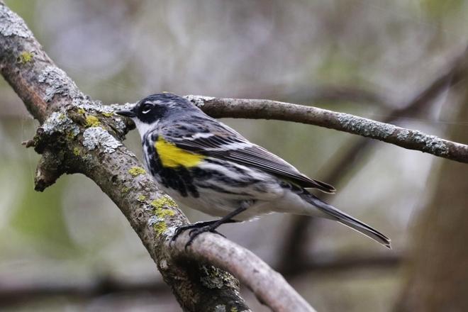Yellow- rumped Warbler Kingston, ON