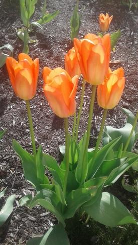 Beautiful Tulips on a Bright Sunny Morning Orangeville, ON