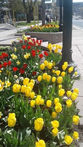 More bright coloured tulips Orangeville, ON