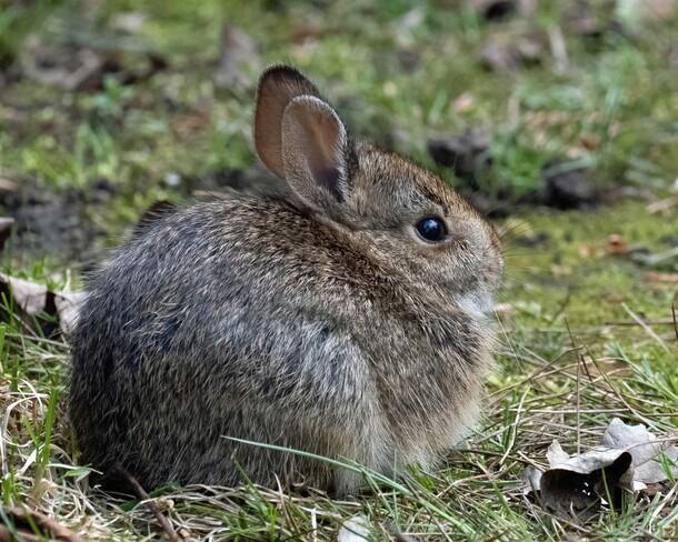 Young Bunny London, Ontario, Canada