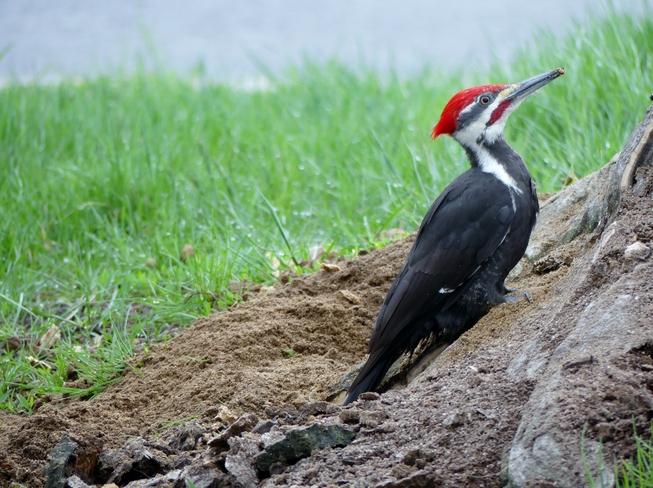 Pileated Woodpecker at work Gloucester, Ottawa, ON