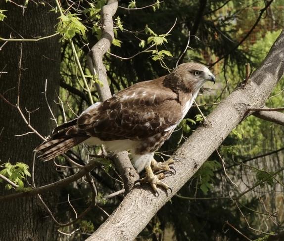 Hawk-eye Toronto, Ontario, CA