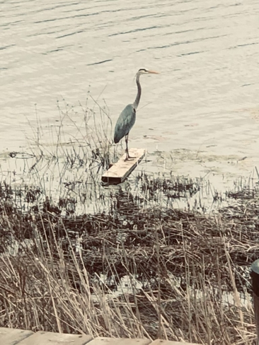 Great Blue Heron Huron-Kinloss, Ontario, CA