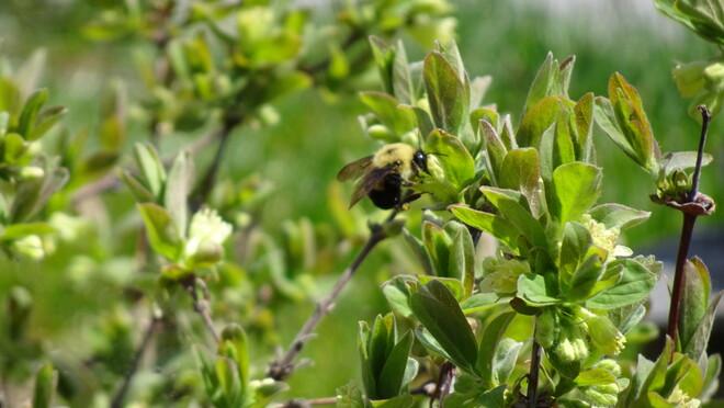 Busy Pollinator Sudbury, ON