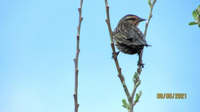 Female Red-winged black bird Kanata, ON