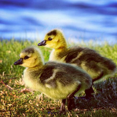 Goslings Ottawa, Ontario, CA