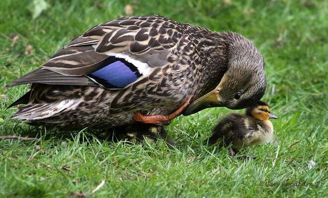 2021-May-09 - Mallard duck bonding with her baby Esquimalt Lagoon, Colwood, BC