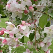 Flowering Crabapple.