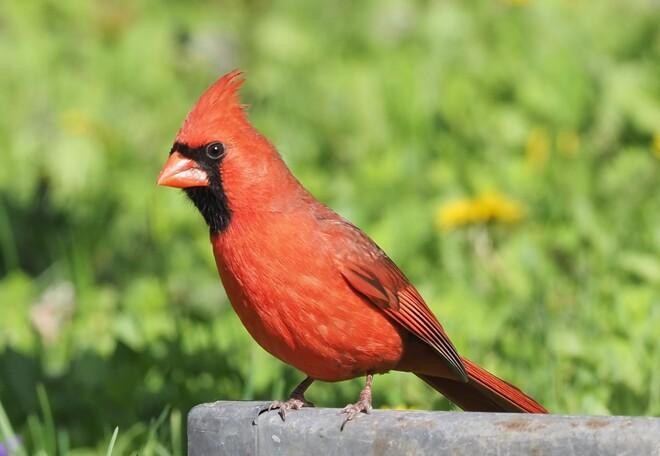 Cardinal de toute beauté Saint-Hubert, Longueuil, QC