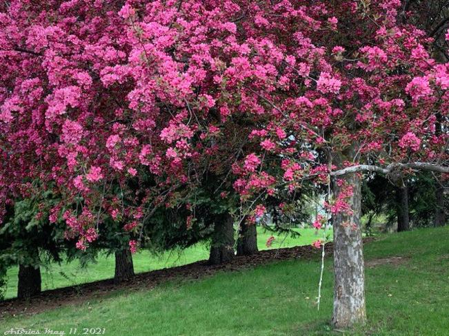 Crabapple tree in full bloom Loafers Lake, Brampton, ON