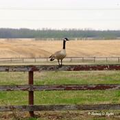 Canada Goose Balanced on Fence Rail