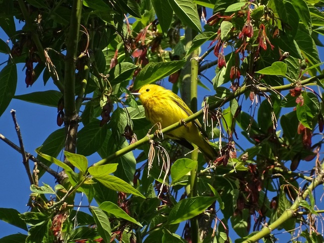 Paruline jaune Boucherville, QC