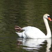 Swan @ Grenadier Pond, Toronto, ON