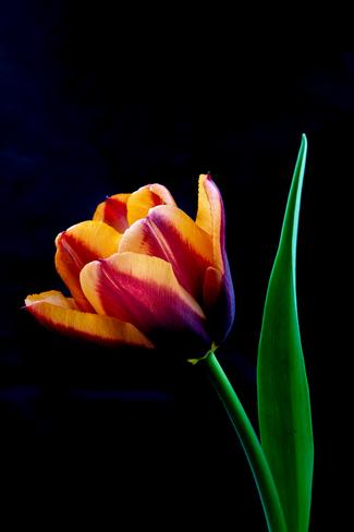Beautiful Tulips Thornbury, Clarksburg, The Blue Mountains, ON