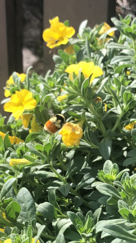 Orange-belted Bumblebee 47 Turner Ave, Winnipeg, MB R3J 2S7, Canada
