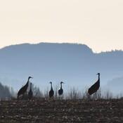 sandill cranes
