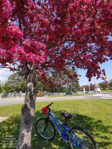 17/5/2021 Enjoy the summer feel 24C! Crabapple tree - Thornhill Thornhill, ON