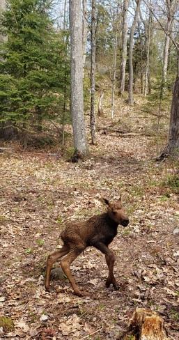 Moose Calf McKellar, ON