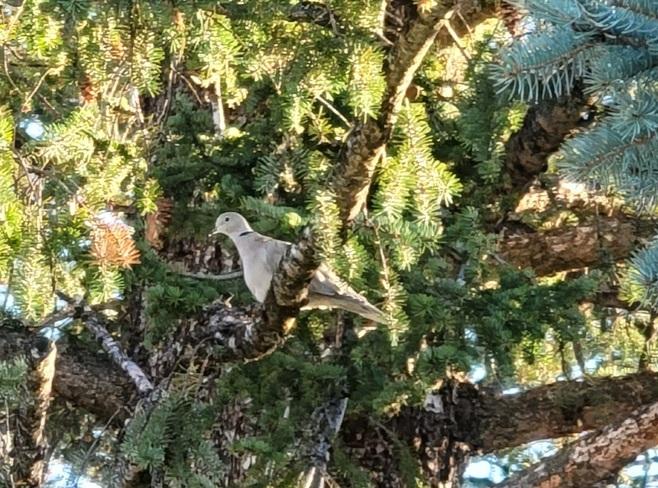 Eurasian dove Baynes Lake, BC