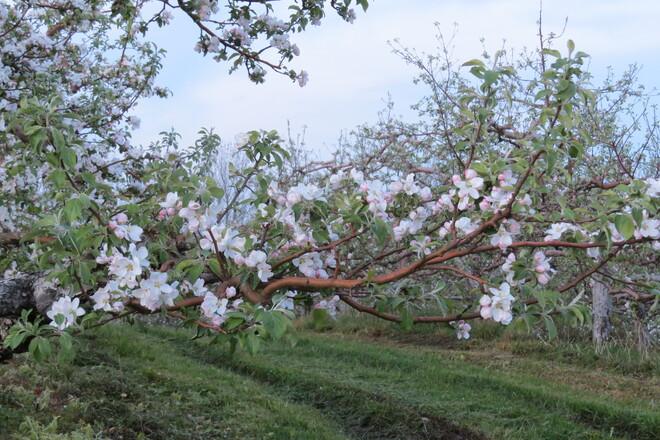 Apple Blossoms. Hebbville, NS